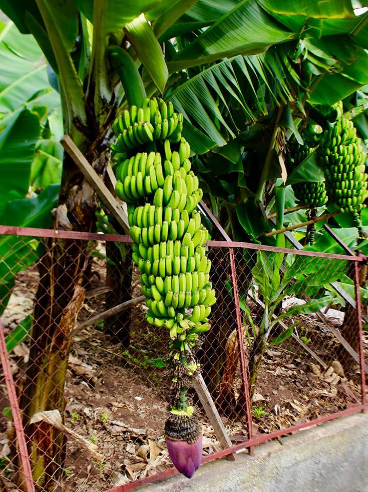 Der er bananer hele året på Madeira.