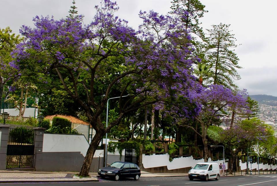 Jacaranda træer.